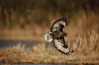 Buse variable en terre alpine