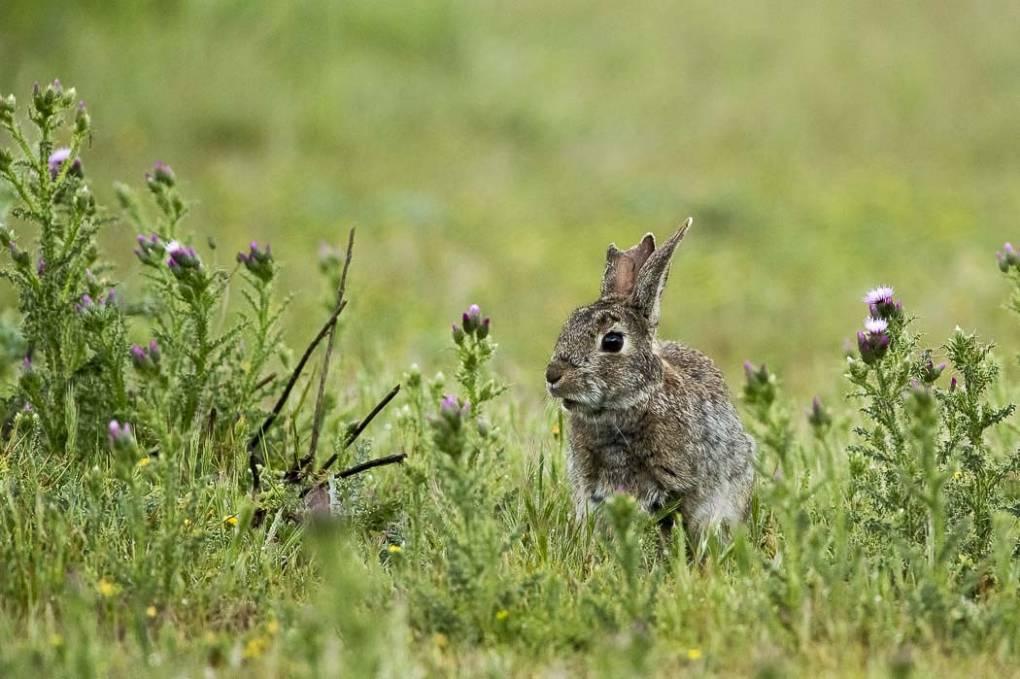 Reportage photos th mes lapins dans un pr g rard - Cuisiner un lapin de garenne ...
